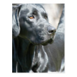 Alert Black Lab Postcard