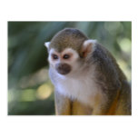 Amazing Squirrel Monkey Postcard