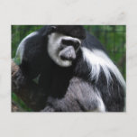 Black and White Monkey Postcard