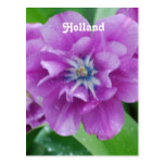 Blooming Tulips in Holland Postcard