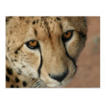 Cheetah Cat Postcard