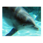 Common Dolphin Postcard