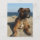 Cute Boxer Dog Postcard
