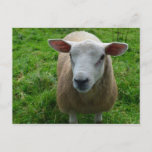 Cute Scottish Sheep Postcard