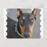 Doberman Pinscher Postcard