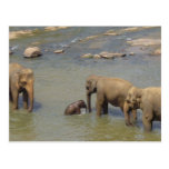 Elephant Herd  Postcard
