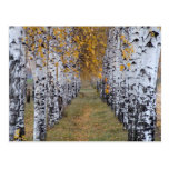 Finland Birch Forest Postcard