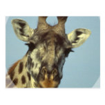 Giraffe Design  Postcards