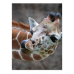 Giraffe Tongue Postcards