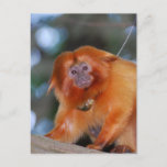 Golden Lion Tamarin Postcard