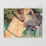 Great Dane Photo Postcard