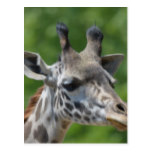 Great Giraffe Postcard