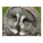 Great Grey Owl Postcard