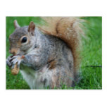 Grey Squirrel  Postcard