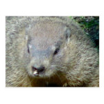 Groundhog Postcard