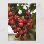 Honduras Coffee Beans Postcard