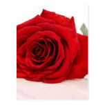Long Stem Red Rose Postcard