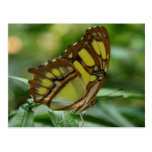 Malachite Butterfly Postcard