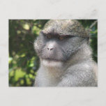Monkey See, Monkey Do Postcard