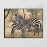 Mother and Baby Zebra  Postcard