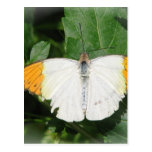 Orange Tipped White Winged Butterfly Postcard