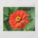 Orange Zinnia Flower Postcard