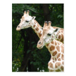 Pair of Giraffes  Postcard
