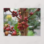 Papua New Guinea Coffee Beans Postcard