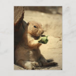 Prairie Dog Hanging Out  Postcard
