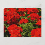 Red Geraniums Postcard