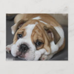 Sleeping Bulldog Postcard