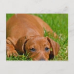 Sweet Daschund Sleeping  Postcard
