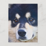Sweet Finnish Lapphund Postcard