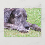 Sweet Great Dane  Postcard