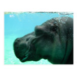 Swimming Hippo Postcard