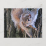 Tree Squirrel  Postcard
