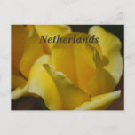 Tulips in the Netherlands Postcard