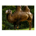 Two Humped Camel Postcard