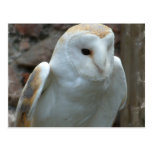White Barn Owl  Postcard