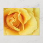 Yellow Rose Blossom Postcard